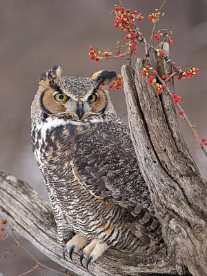Bittersweet Photograph - Great Horned Owl by Cindy Lindow