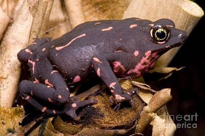 Bufonidae Photograph - Harlequin Frog by Dante Fenolio