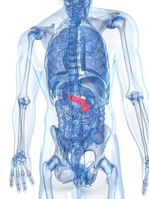 X-ray Image Digital Art - Healthy Pancreas, Artwork by Sciepro