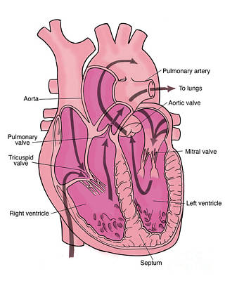 Illustration Of Coronary Circulation Art Print