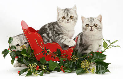 Kittens In A Miniature Sled Art Print