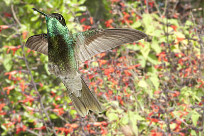 Iridescent Photograph - Magnificent Hummingbird by Gregory Scott