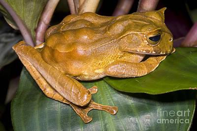 Gastrotheca Cornuta Photograph - Marsupial Frog by Dante Fenolio