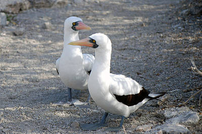 Photograph - Nazca Booby by Harvey Barrison