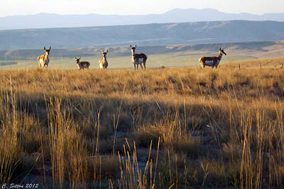 Photograph - 5 Pronghorn Does by C Sitton