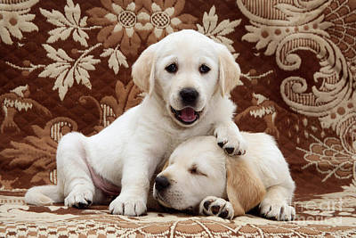 Golden Puppy Photograph - Puppies by Jane Burton