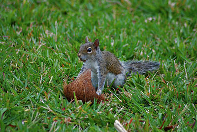 Photograph - 5- Put The Squirrel In The Coconut by Joseph Keane