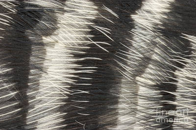 Designs In Nature Photograph - Red-bellied Woodpecker Feathers by Ted Kinsman