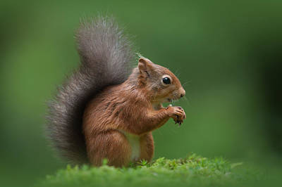 Red Squirrel Art Print by Andy Astbury
