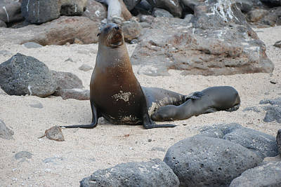 Photograph - Sea Lion With Pup by Harvey Barrison
