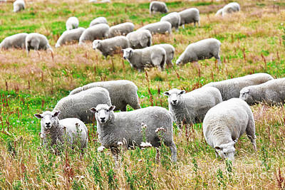 Sheeps Art Print by MotHaiBaPhoto Prints