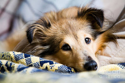Sable Sheltie Photograph - Sheltie by Kati Molin