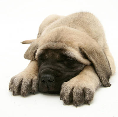 Sleeping Puppy Art Print