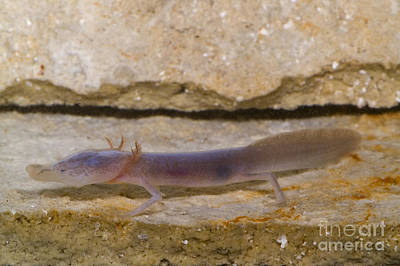 Plethodontidae Photograph - Texas Blind Salamander by Dante Fenolio