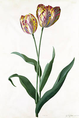 Rose Branch Painting - 5 Tulip Tulip  by Georg Dionysius Ehret