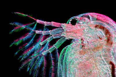 Rheinberg Illumination Technique Photograph - Water Flea Daphnia Magna by Ted Kinsman