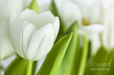 White Tulips Art Print by Nailia Schwarz