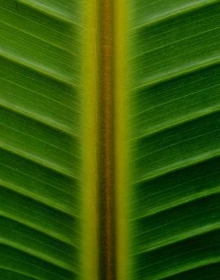 Wild Banana Leaf Art Print