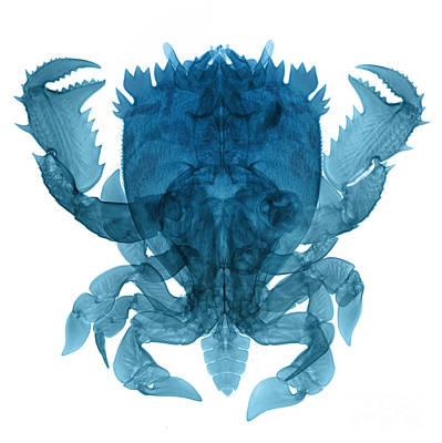 Photograph - X-ray Of Deep Water Crab by Ted Kinsman