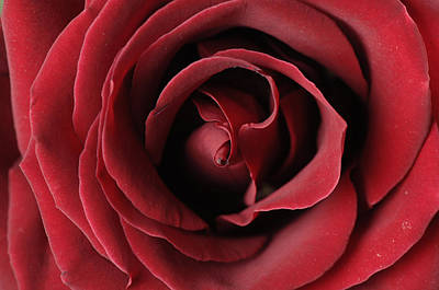 Rosaceae Photograph - A Red Rose Rosaceae by Joel Sartore