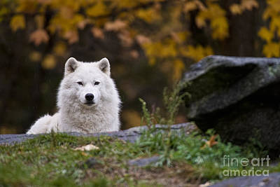 Arctic Wolf Art Print by Michael Cummings