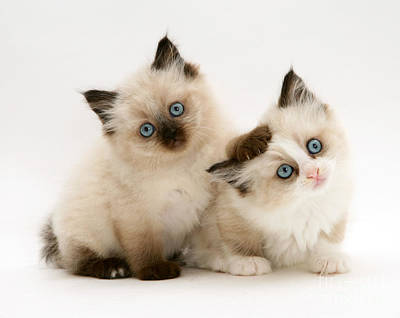 Photograph - Birman-cross Kitten by Jane Burton