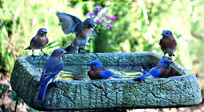 Digital Art - 6 Bluebirds Bathing by Carrie OBrien Sibley