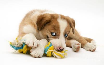 Border Collie Puppy Art Print by Jane Burton