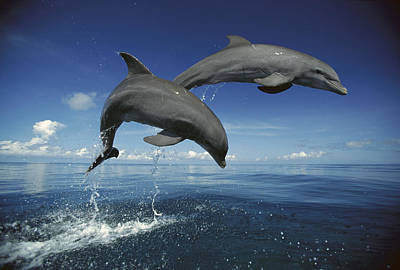 Photograph - Bottlenose Dolphin Tursiops Truncatus by Konrad Wothe