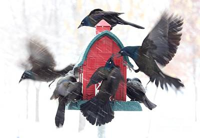 Photograph - Common Grackle by Jack R Brock