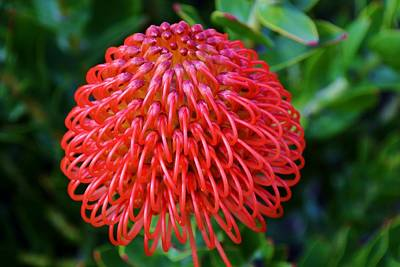 Common Pincushion Protea Art Print