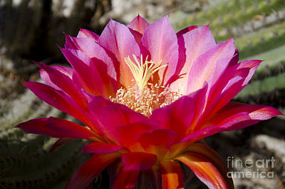 Photograph - Dark Pink Cactus Flower by Jim And Emily Bush