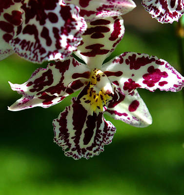 Botanic Photograph - Exotic Orchids Of C Ribet by C Ribet
