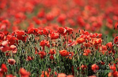 Field Of Poppies. Art Print by Bernard Jaubert