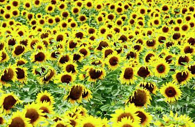 Blurriness Photograph - Field Of Sunflowers by Bernard Jaubert