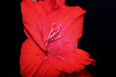 Gladiola. Red Gladiola Photograph - Gladiola by Cathie Tyler