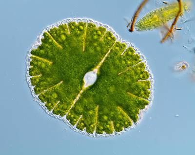 Green Alga, Light Micrograph Art Print