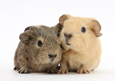 House Pet Photograph - Guinea Pigs by Mark Taylor