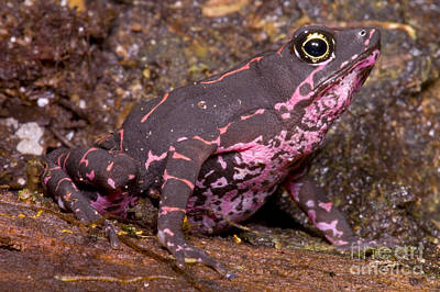 Photograph - Harlequin Frog by Dante Fenolio