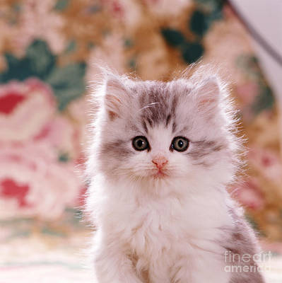 Animal Portraiture Photograph - Kitten by Jane Burton