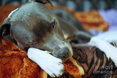 Lazy Dog Photograph - Lazy Afternoon by Angel  Tarantella