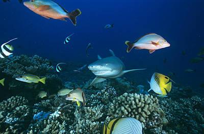 Moorea Photograph - Lemon Shark by Alexis Rosenfeld