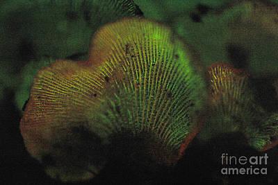 Photograph - Luminescent Mushroom Panellus Stipticus by Ted Kinsman