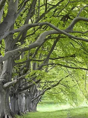 Mature Beech Trees (fagus Sylvatica) Art Print