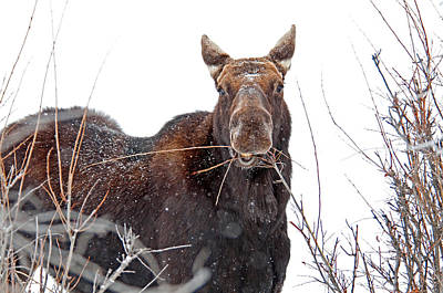 Mooses Tooth Photograph - Moose by Elijah Weber