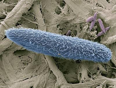 Paramecium Protozoan, Sem Print by Steve Gschmeissner