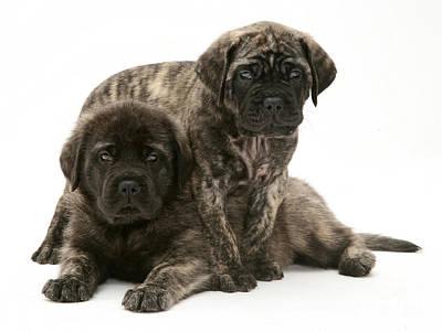 Brindle Photograph - Puppies by Jane Burton