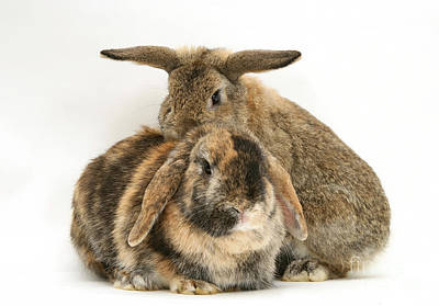 Photograph - Rabbits by Jane Burton