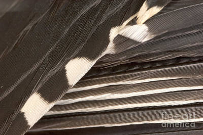 Designs In Nature  - Red-bellied Woodpecker Feathers by Ted Kinsman