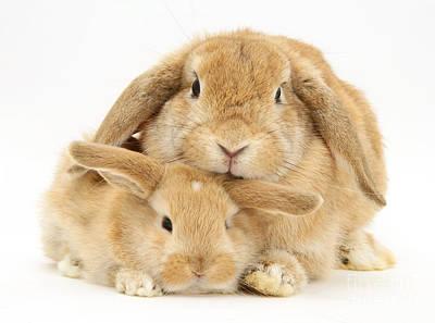 Photograph - Sandy Lop Rabbits by Jane Burton
